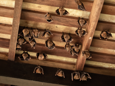 Do You Have Bats In Your Attic?