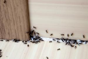 ant infestation in kitchen