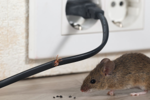 Mouse with mouse droppings and damage to wire