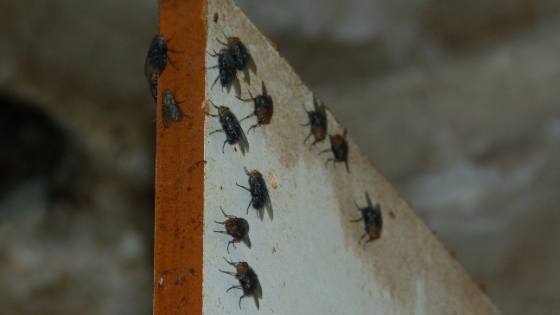 How To Get Rid of Cluster Flies: Cluster Fly Removal Recommendations