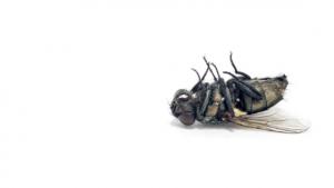 dead cluster fly alliston