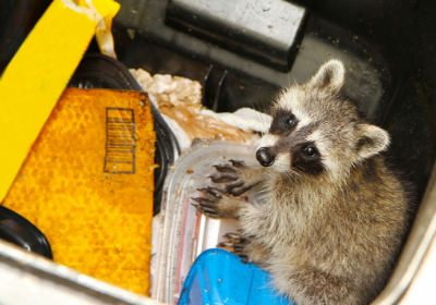 Top 5 Ways Raccoons Enter Your Home